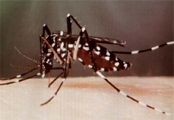 Tiger mosquito example
